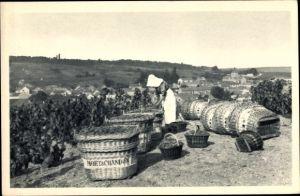 Ak Le Mesnil sur Oger Marne, Scène de vendange, Moët & Chandon, Weinanbau, Sekt, Champagne