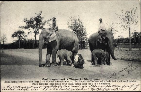 Ak Hamburg Eimsbüttel Stellingen, Carl Hagenbeck, Tierpark, Elefanten