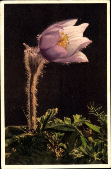 Ak Anemone alpina, Pelzanemone, Alpine Anemone