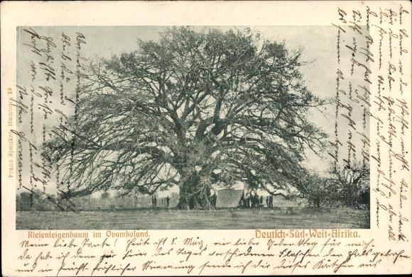 Ak Namibia Deutsch Südwestafrika, Riesenfeigenbaum im Ovaimboland