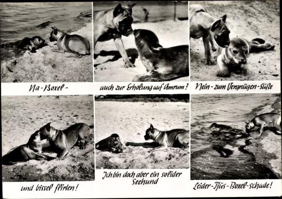 Ak Insel Amrum in Nordfriesland, Seehund und Boxer am Strand, Robbe