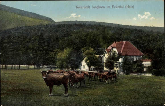Ak Bad Harzburg in Niedersachsen, Kuranstalt Jungborn im Eckertal, Rinder  0
