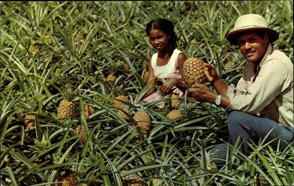 Ak Le Morne Rouge Martinique, Récolte d'ananas, Ernte