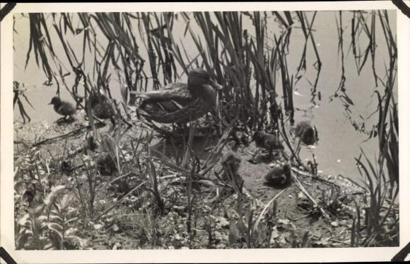 Foto Ak Ente, Entenmutter mit Küken am Seeufer