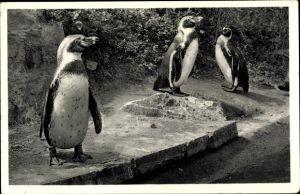 Ak Pinguine vom Versandhaus Nordland, Osnabrück