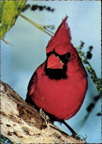 Ak Roter Kardinal, Vogel auf einem Ast