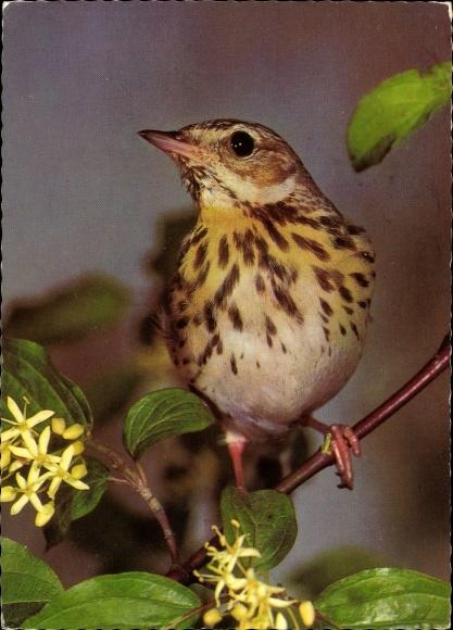 Ak Baumpieper, Vogel auf einem Zweig, Blüten