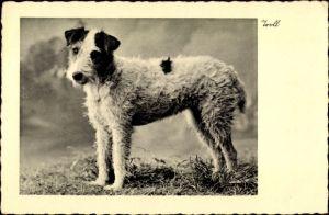Ak Seitenprofil von einem schwarz weißen Terrier, Hundeportrait