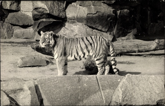 Foto Ak Tiger in einem felsigen Gehege in einem Zoo