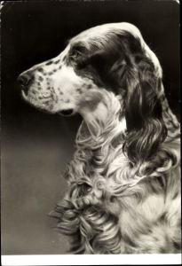 Ak Hundeportrait, English Setter, Profilansicht von einem Hund, Schnauze