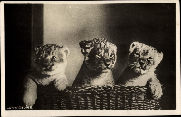 Ak Halle an der Saale, Zoologischer Garten, drei Löwenbabies in einem Korb