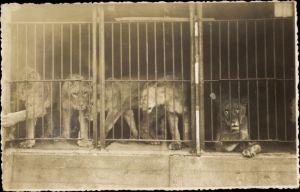 Foto Ak Löwen in einem vergitterten Käfig, Lange's Raubtiere