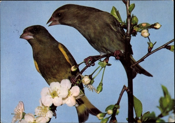 Ak Vögel, Grünfinkenpaar, Baumblüte