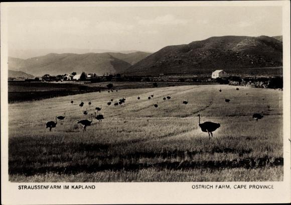 Ak Cape Province Kapland Südafrika, Straußenfarm, Ostrich Farm