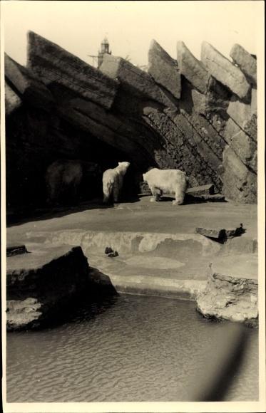 Foto Ak Eisbären in einem Gehege, Zoo