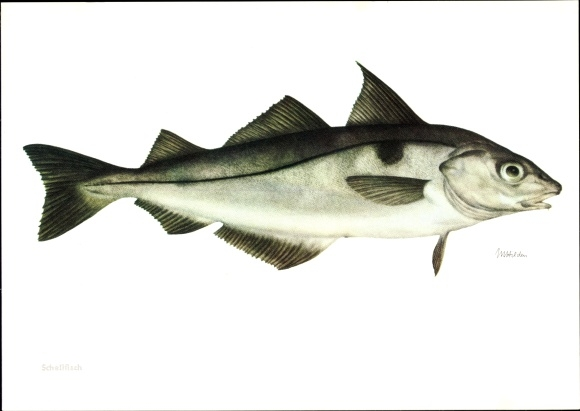 Künstler Ak Schellfisch, Melanogrammus aeglefinus, Fisch