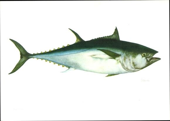 Künstler Ak Thunfisch, Thunnus thynnus, Fisch