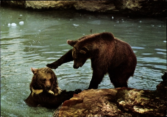 Ak Braunbären am Wasser, Nationalpark Bayerischer Wald