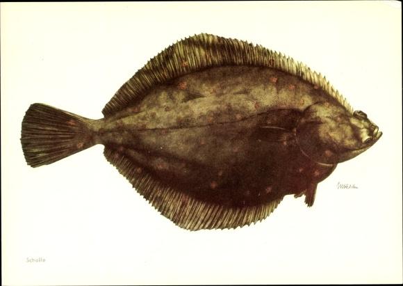 Künstler Ak Scholle, Pleuronectes platessa, Fisch