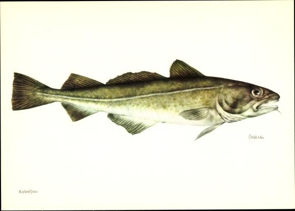 Künstler Ak Kabeljau, Gadus morhua, Fisch
