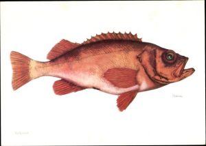 Künstler Ak Rotbarsch, Sebastes marinus, Fisch