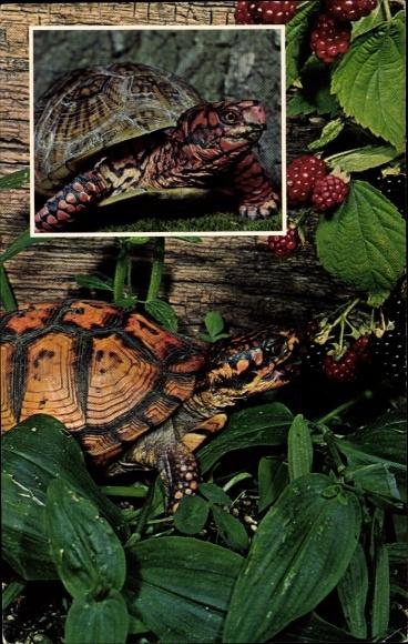 Ak Box Turtles, Terrapene car, Schildkröten, Beeren