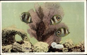Ak New York City USA, Aquarium, Butterfly Fish