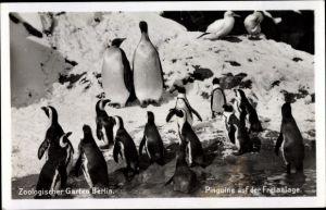 Ak Zoologischer Garten Berlin, Pinguine auf der Freianlage