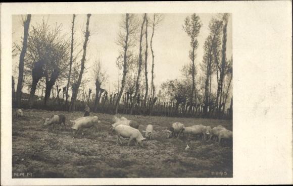 Foto Ak Schweine auf einer Weide