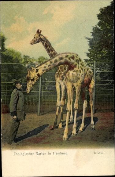 Ak Hamburg Eimsbüttel Stellingen Zoologischer Garten Giraffe Nr