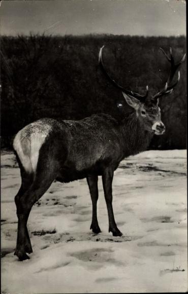 Ak Cerb carpatin din rezervatia naturala Hateg, Hirsch