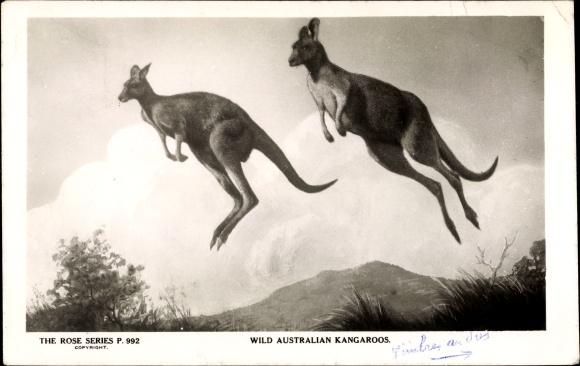 Ak Zwei wilde Kängurus im Sprung
