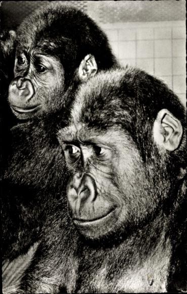 Ak Zoologischer Garten Berlin, Gorilla Paar Knorke und Fatou