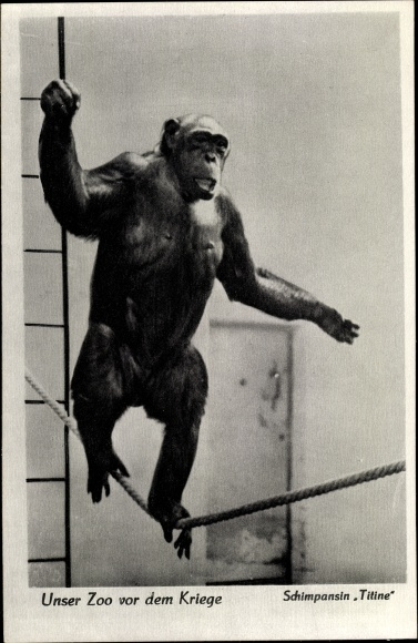 Ak Zoologischer Garten Berlin, Schimpansin Titine