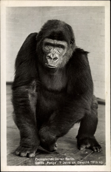 Ak Zoologischer Garten Berlin, Gorilla Pongo