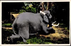 Ak Nord Vietna, Elephant du Laos employe au tirage des bois, Elefant