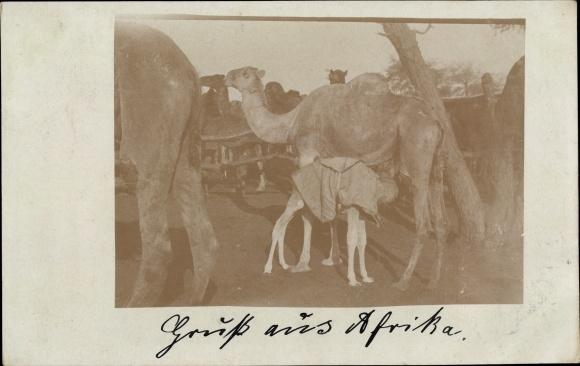 Foto Ak Kamelherde, trinkendes Jungtier, Kamele