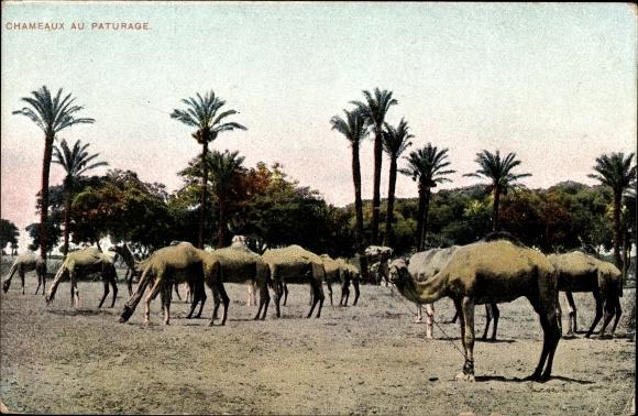 Ak Chameaux au Paturage, Kamele und Palmen