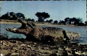 Ak Ein Krokodil mit weit aufgerissenem Maul am Flussufer