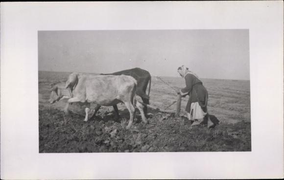 Foto Ak Bäuerin mit Rinderpflug auf dem Feld