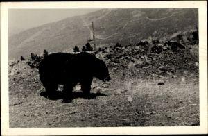 Foto Ak Alaska USA, Grizzly Bear, Bär