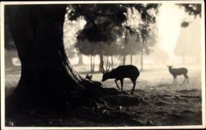 Foto Ak USA, Zwei Hirsche im Wald