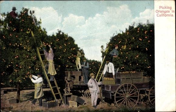 Ak Kalifornien, Picking Oranges in California