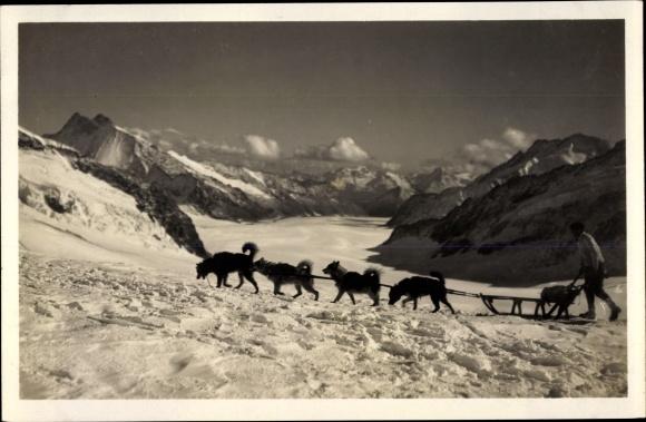 Ak Kanton Bern, Jungfraujoch, Polarhunde am Jungfraufirn, Schlittenhunde