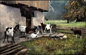 Ak Ziegen auf einem Bauernhof