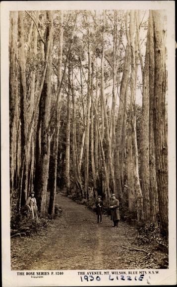Ak New South Wales Australien, Blue Mountains, Mt. Wilson, The Avenue