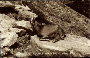 Ak Dans la Vallée du Trient, la sieste, Ziege