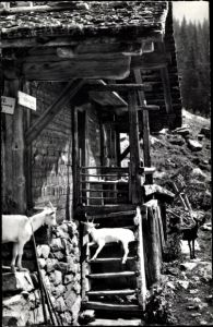 Ak Junge Ziegen bei der Alphütte