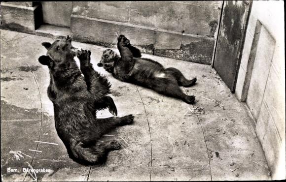 Ak Braunbären im Berner Bärengraben