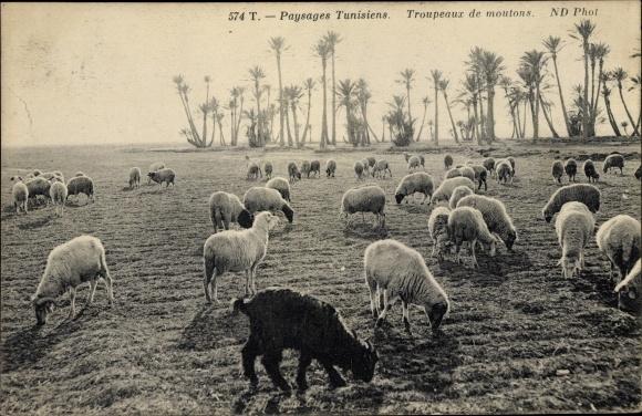 Ak Troupeaux de moutons, Schafsherde, Tunesien